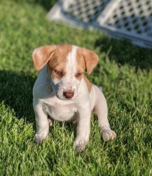 Puppy available for adoption in Louisville
